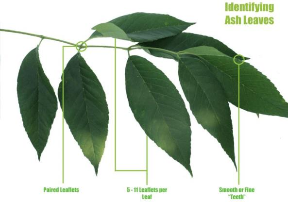 Identifying Ash Leaves-2